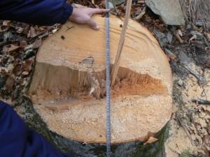 Taieri-arbori